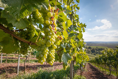 Veneto agricoltura - Previsioni vendemmiali 2020